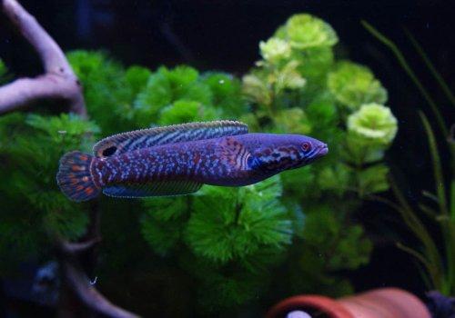 Змееголов радужный (Channa bleheri blue)
