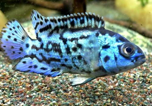 Цихлазома Блю Демпси (Rocio octofasciata)