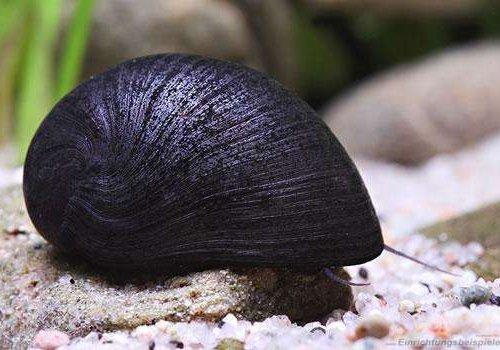 Улитка Неритина Черная (Neritina pulligera)