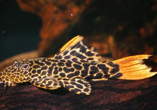 L114 Псевдакантикус леопардовый (Pseudacanthicus sp.leopard L114)